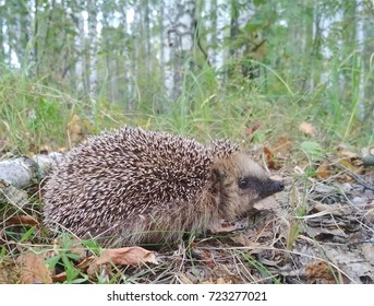 Hedgehog in the forest. Erinaceus europaeus.