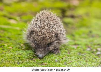 Hedgehog in a garden is looking for food