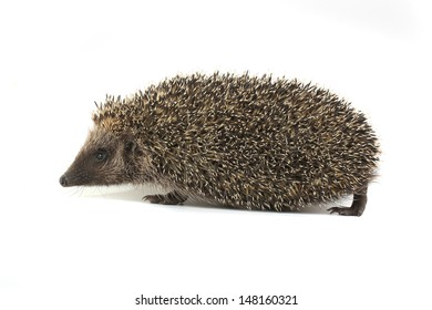 hedgehog going on a white background