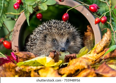 Hedgehog in golden Autumn leaves surrounded by red rosehips and green foliage. Facing forwards. Inside a clay drainage pipe. This is a wild, native hedgehog, Erinaceus Europaeus.