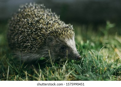 hedgehog in the grass at night