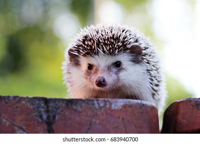 Hedgehog with green background