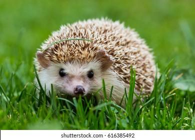 hedgehog in green park