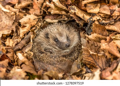 Hedgehog hibernating (Scientific name: Erinaceus europaeus). Wild, native, European hedgehog, curled into a ball and hibernating in golden brown Autumn leaves. Horizontal. Landscape.