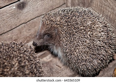 The hedgehog, home in a box, in a box