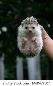 Hedgehog in the human hand