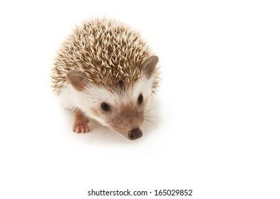 Hedgehog isolate