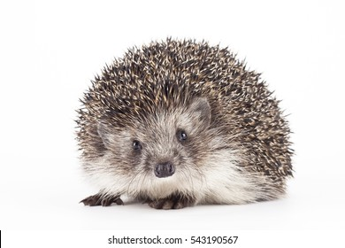 hedgehog isolated