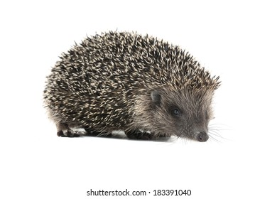 hedgehog isolated on white background