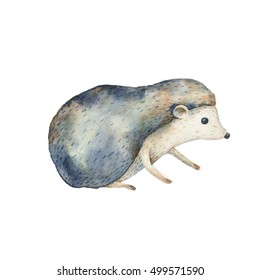 Hedgehog  isolated on white background. Watercolor illustration.  Animal painting for t-shirts,cards,prints,postcards.