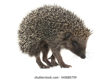 hedgehog isolated on a white background