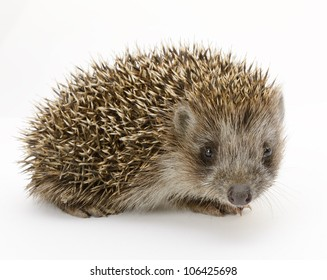hedgehog isolated. Small mammal with spiny hairs on its back and sides
