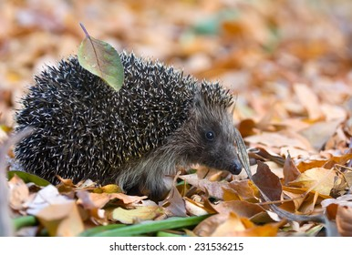 Hedgehog in Leaves