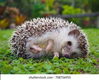 Hedgehog Lie on the grass
