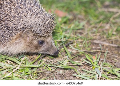 Hedgehog looks at the grass