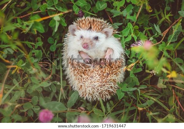 a hedgehog lying in grass hiding its tummy