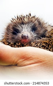 Hedgehog lying in human hands / selective focus