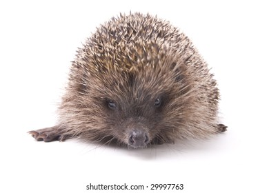 hedgehog male adult isolated on white