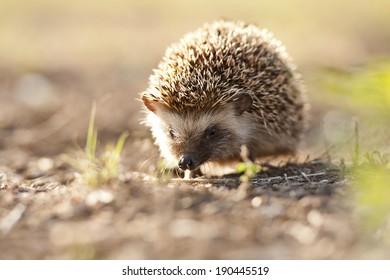 Hedgehog in morning light