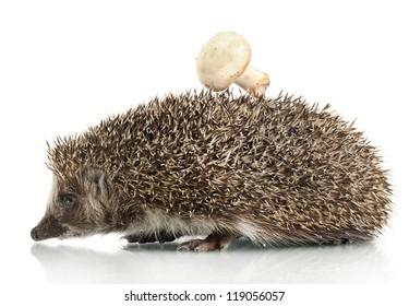 Hedgehog with mushroom,, isolated on white