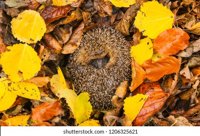 Hedgehog, native, wild, European hedgehog (Erinaceus Europaeus) curled up into a ball, hibernating in colourful yellow, orange and brown Autumn or Fall leaves. Horizontal.