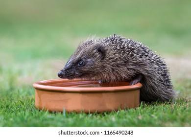 Hedgehog, native, wild, European hedgehog, facing left and drinking water from a terracotta bowl.  Scientific name: Erinaceus europaeus.  Horizontal.