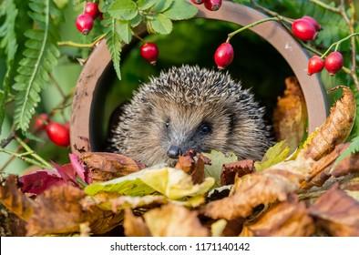 Hedgehog, native, wild, European hedgehog, facing forward in natural habitat of Autumn leaves, red rosehips and green foliage.  Scientific Name: Erinaceus europaeus.  Landscape