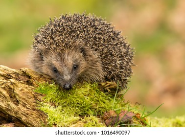 Hedgehog, native, wild European hedgehog on green moss covered log with blurred background. Landscape.  Facing forwards.  Scientific name: Erinaceus europaeus. Horizontal.  Space for copy