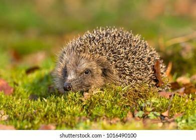 Hedgehog, native wild European hedgehog on green moss with blurred background.