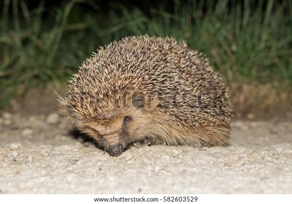 Hedgehog in nature