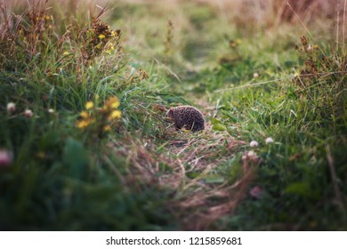 Hedgehog on the footpath in the green grass, a hedgehog in nature