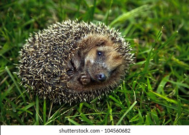 Hedgehog on grass