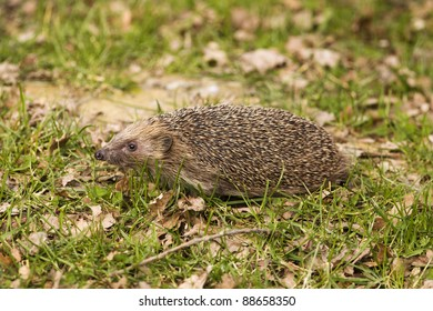 A hedgehog on grass in daylight with autumn leaves.