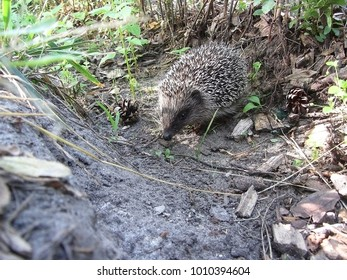 Hedgehog on the green grass.