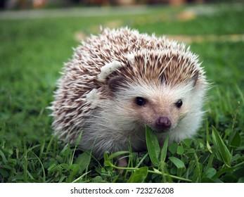 hedgehog on a green meadow