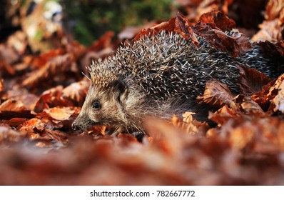hedgehog on leaves