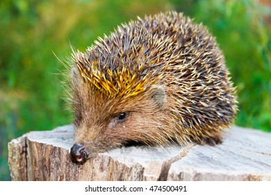Hedgehog on the log