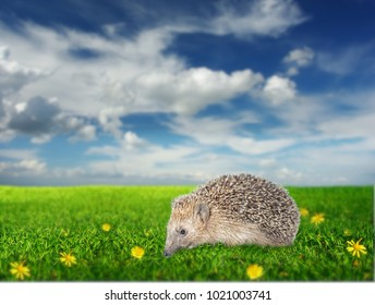 hedgehog on the meadow with yellow flowers
