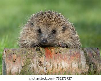 Hedgehog on a Silver Birch log facing forwards.  Native, wild European hedgehog.