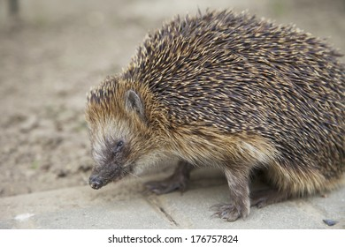 A hedgehog on the street