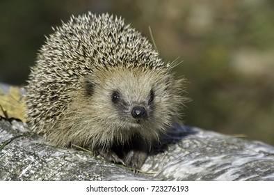 Hedgehog on stump.