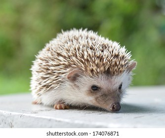 Hedgehog on table
