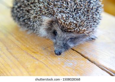 hedgehog on a table looking flightendly. hedgehog at the farm series.