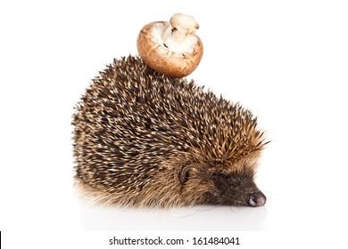 hedgehog on a white background. Hedgehog with mushroom