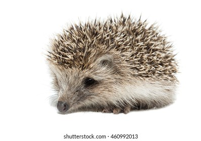 Hedgehog on a white background, Russia, Tambov, village, summer