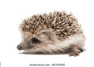 Hedgehog on white background, Russia, village, summer