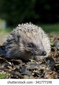 Hedgehog portrait
