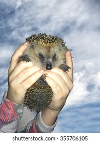 Hedgehog portrait while looking at you on sky background