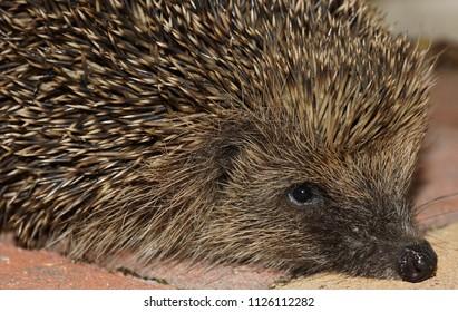 Hedgehog regular visitor to gardens. A much loved mammal.