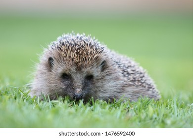 Hedgehog resting in freshly cut summer grass, spikes shining in front of a blurred background.